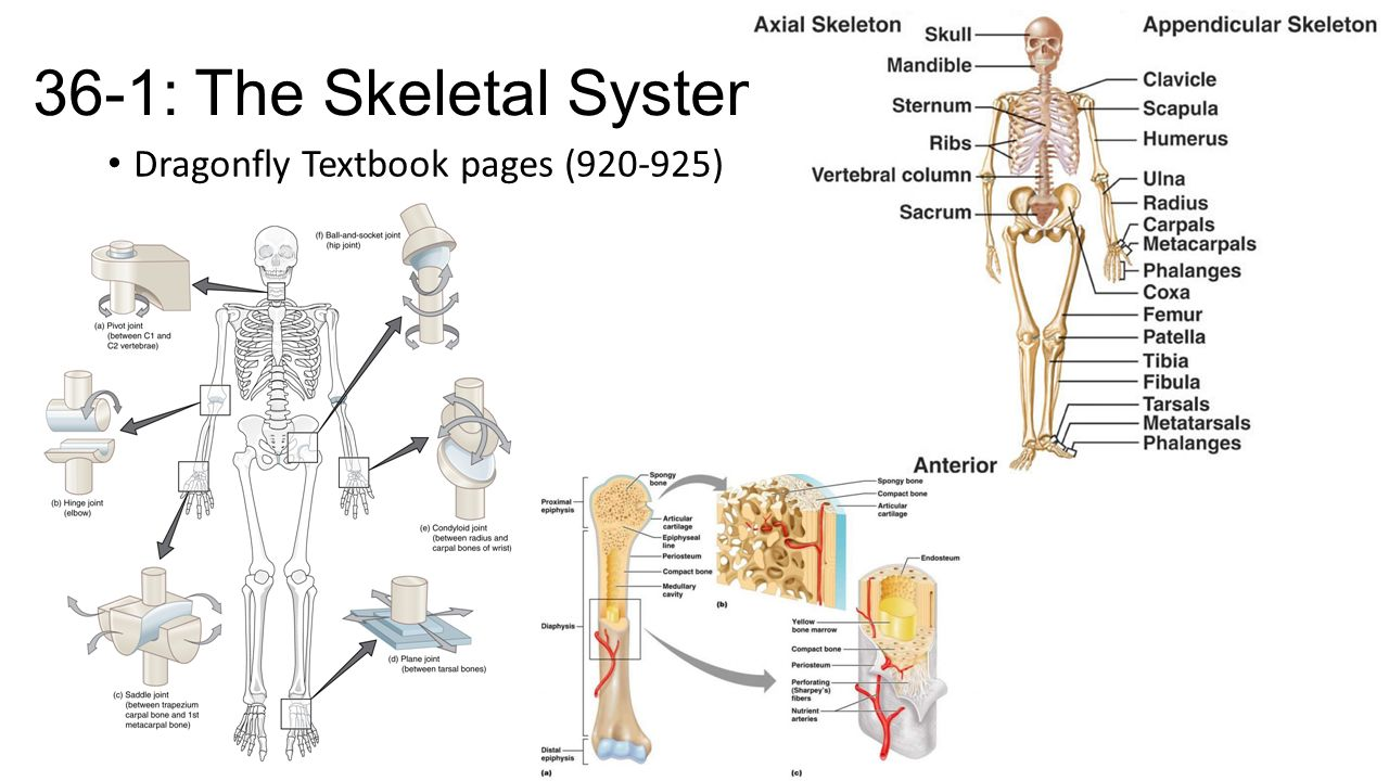 skeletal muscular and integumentary system Loss of homeostasis within body cells and organs always reveals itself on the surface of the skin, sometimes in drastic ways the skin can develop over a 1000.