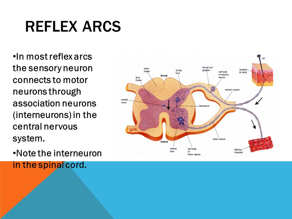 Reflex Arc Diagram Labeled Gcse Image collections - How To