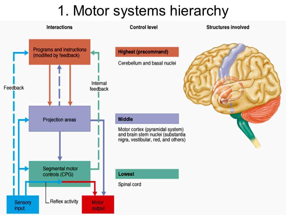 1 motor systems hierarchy ppt video online download