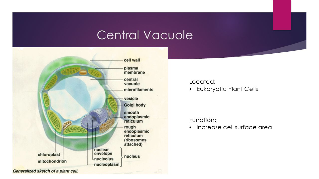 Central Vacuole Related Keywords - Central Vacuole Long ...