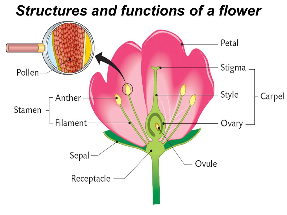 Functions: What Is The Function Of A Flower