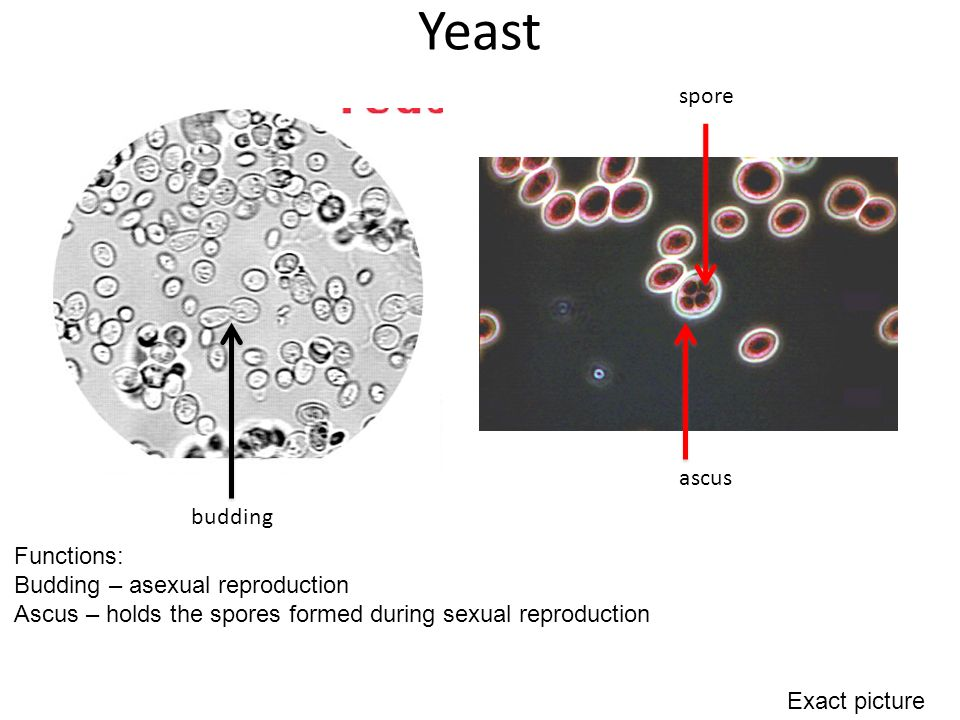 Which helps in the asexual reproduction of yeast images 37