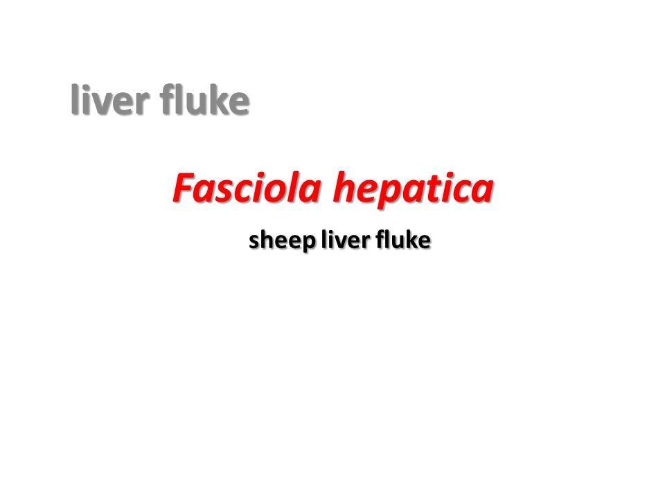 Fasciola hepatica sheep liver fluke ppt video online download ccuart Gallery