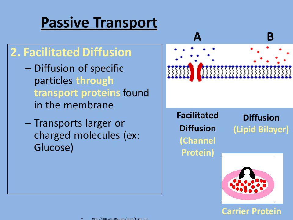 Passive Transport Vs Active Transport Venn Diagram Ukran