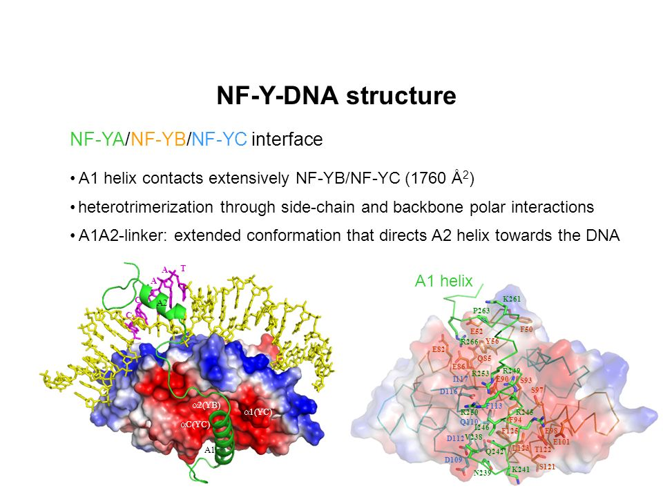NF-Y-DNA structure NF-YA/NF-YB/NF-YC interface