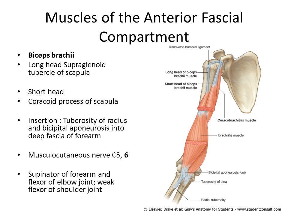 Fantástico Fascia Definition Anatomy Galería - Anatomía de Las ...