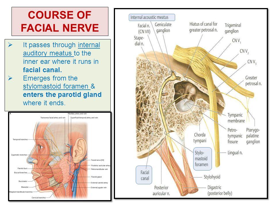 Pictures Of Stylomastoid Foramen Facial Nerve Kidskunstfo