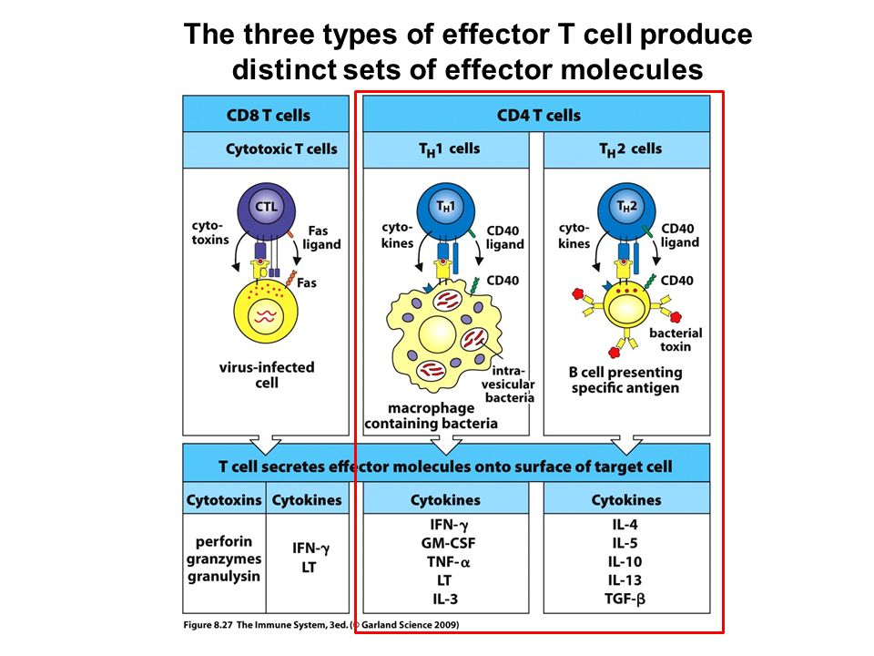 function of t cells and b