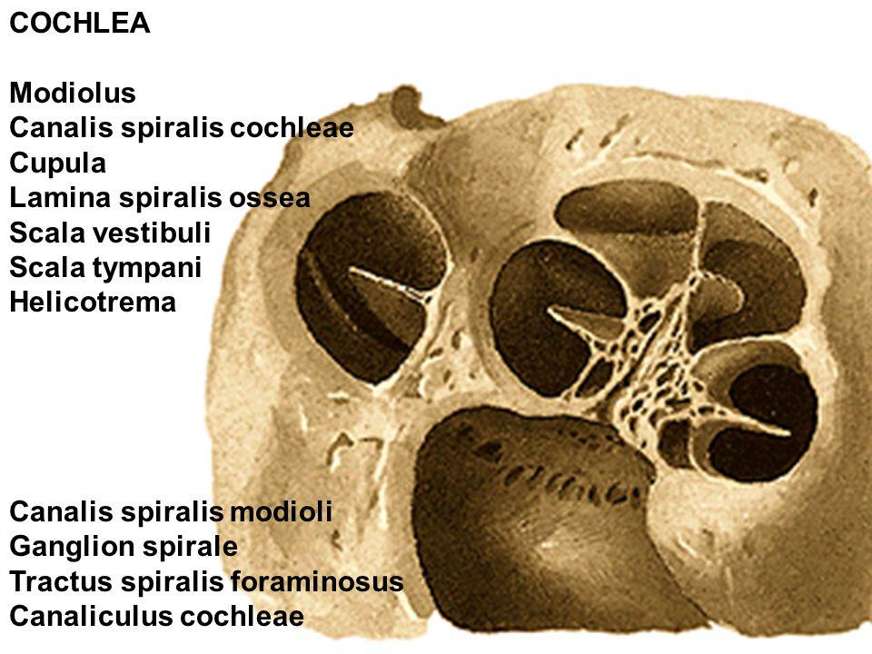 Helicotrema Histology