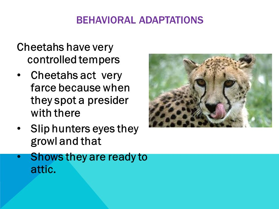 Cheetahs fast and furious ppt video online download for Farcical behavior