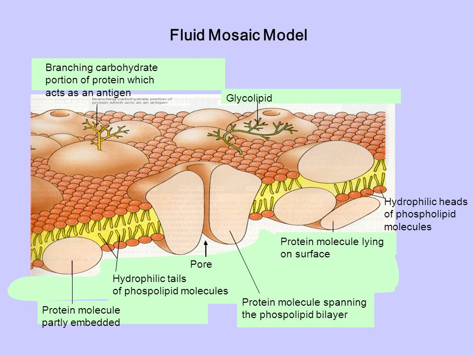 describe the fluid mosaic model of a What does 'fluid mosaic' mean, detailed answer please it's a term used to describe the according to the fluid mosaic model the biological.