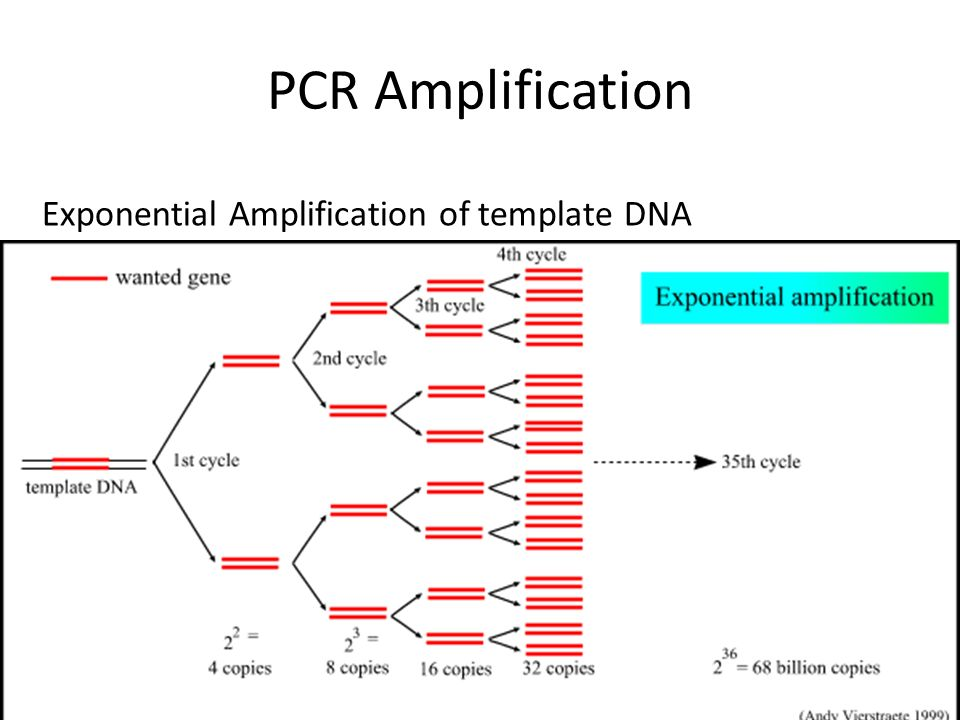 pcr template amount - lecture 4 polymerase chain reaction pcr ppt video
