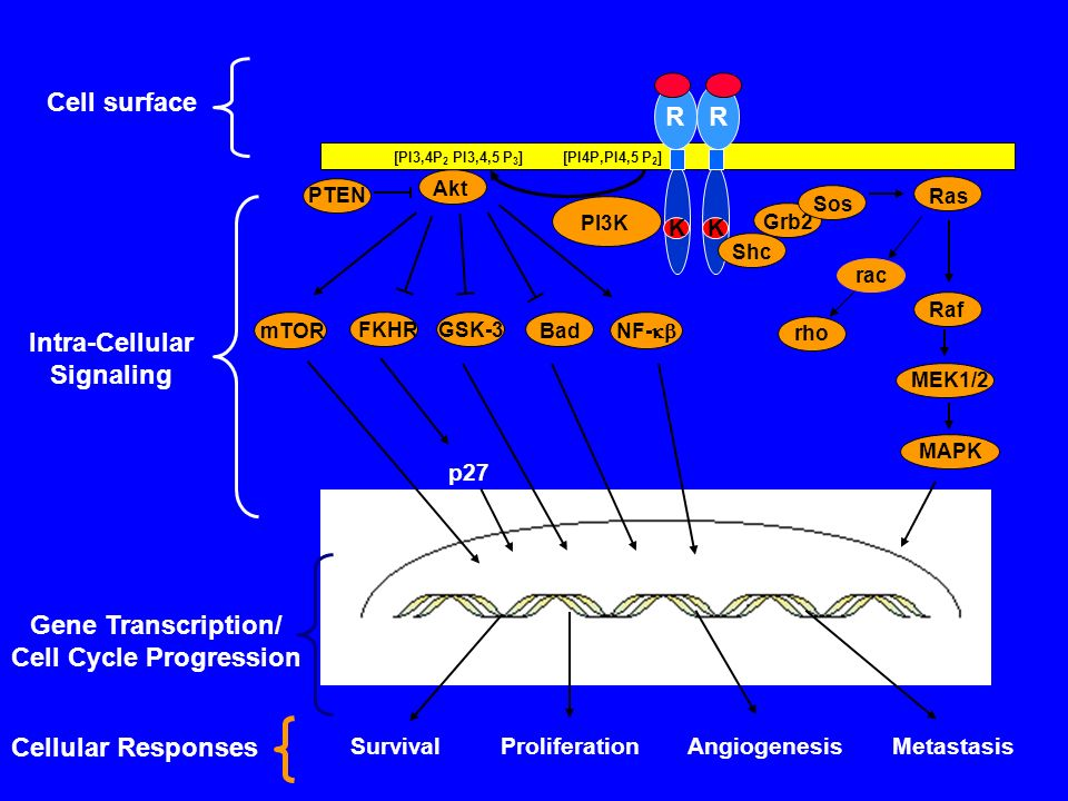 Cell Cycle Progression