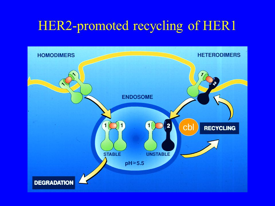 HER2-promoted recycling of HER1