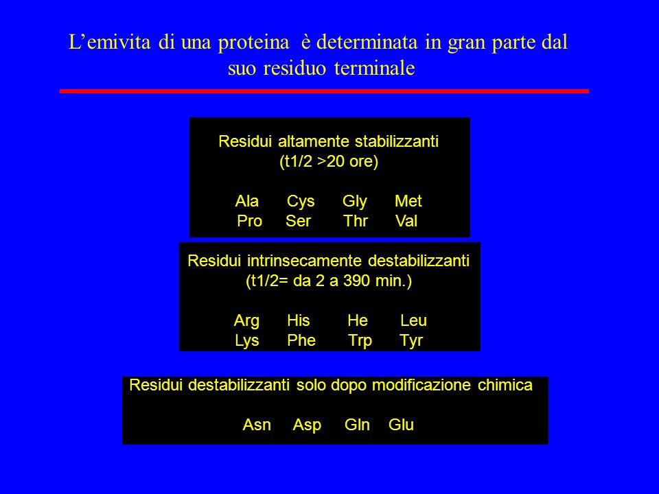 L'emivita di una proteina è determinata in gran parte dal