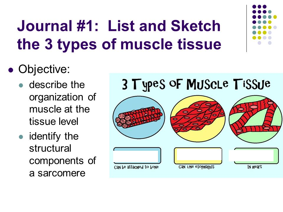 Journal 1 List And Sketch The 3 Types Of Muscle Tissue