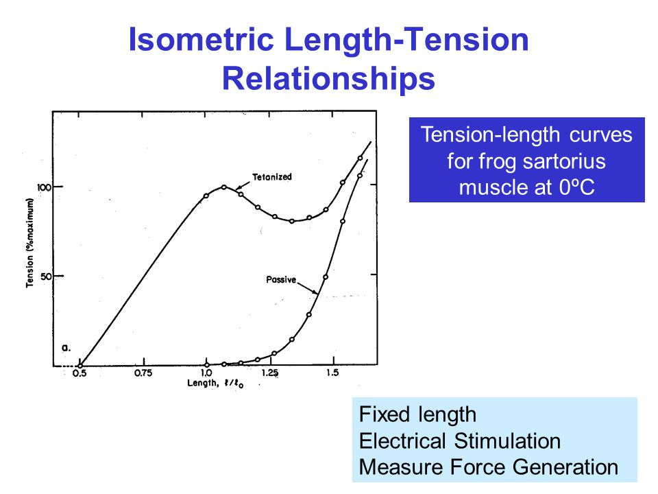 length tension relationship in a frog muscle structure