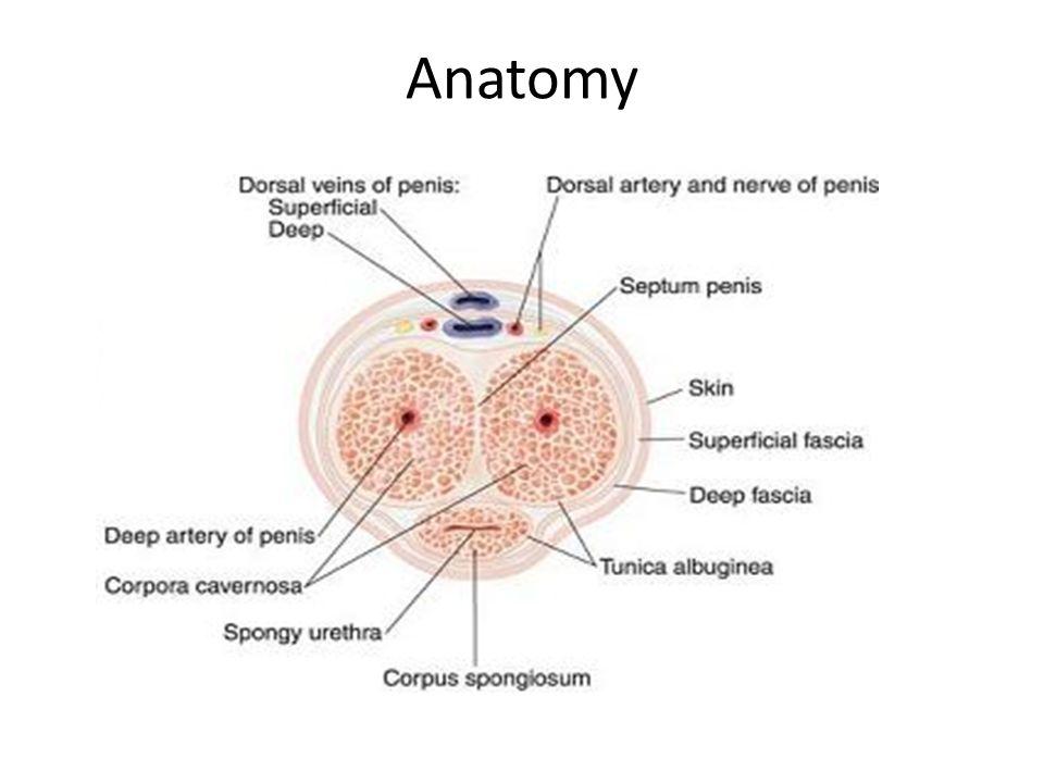 Ungewöhnlich Pankreasdrüse Zeitgenössisch - Anatomie und Physiologie ...