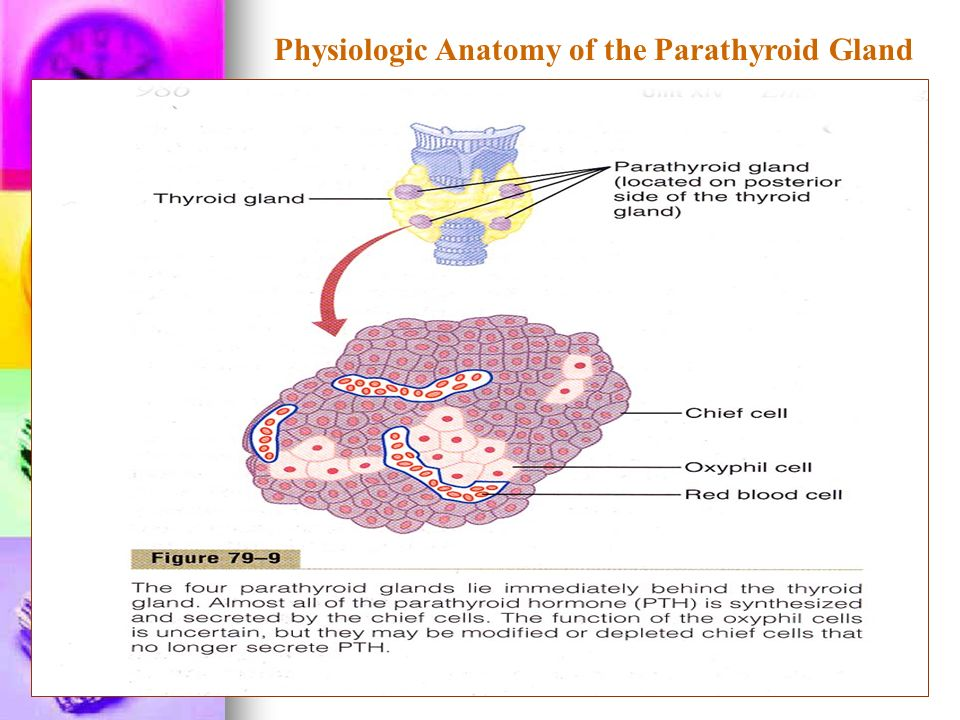 Hermosa Anatomy And Physiology Of Parathyroid Gland Ppt Imagen ...