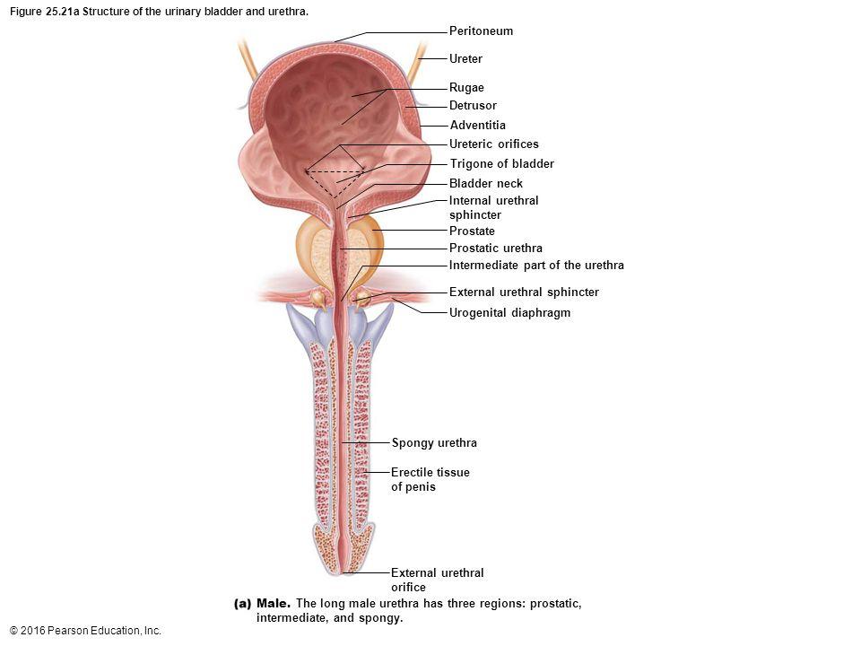 Bladder Anatomy Trigone Image collections - human body anatomy