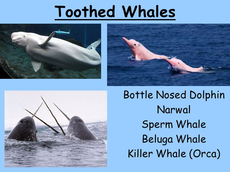 Toothed Whales Bottle Nosed Dolphin Narwal Sperm Whale Beluga Whale ...