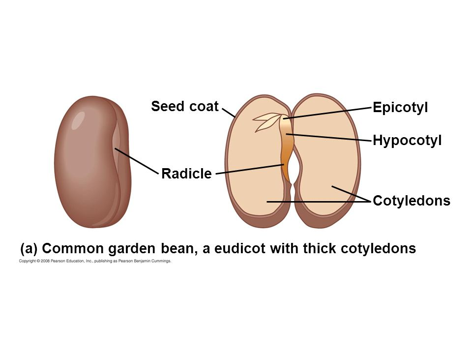 seed structure and seed germination ppt video online Label Parts of the Cocoa Bean Label the Parts of a Bean Seed