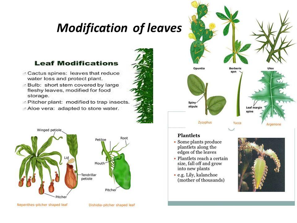 Morphology Of Vegetative Organs Ppt Download