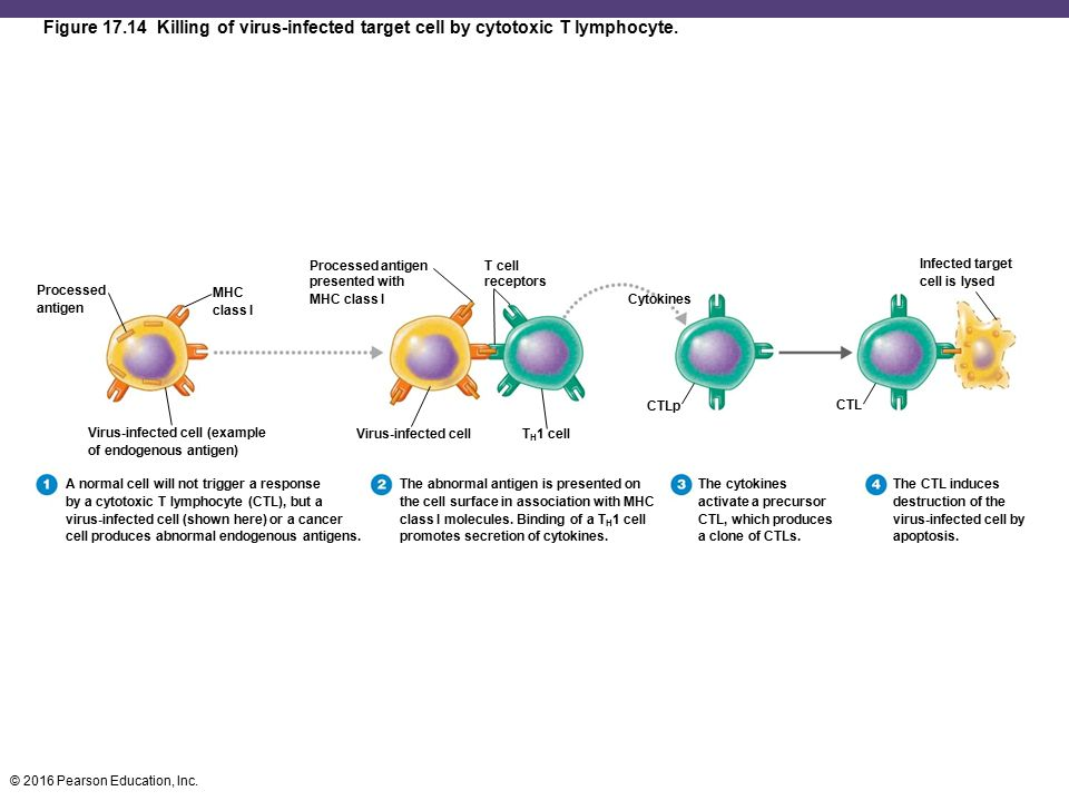 Adaptive Immunity: Specific Defenses of the Host - ppt ...