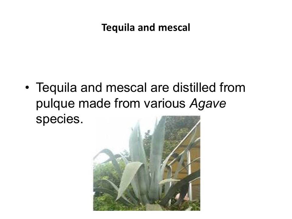 Tequila and mescal Tequila and mescal are distilled from pulque made from various Agave species.