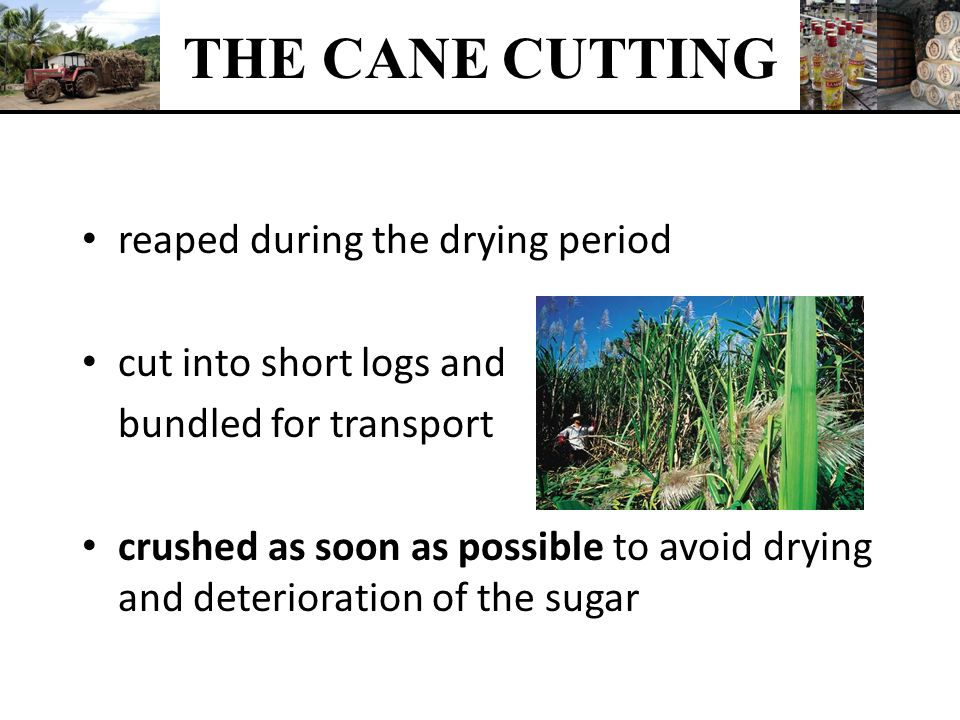 THE CANE CUTTING reaped during the drying period
