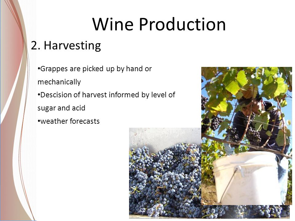 Wine Production 2. Harvesting