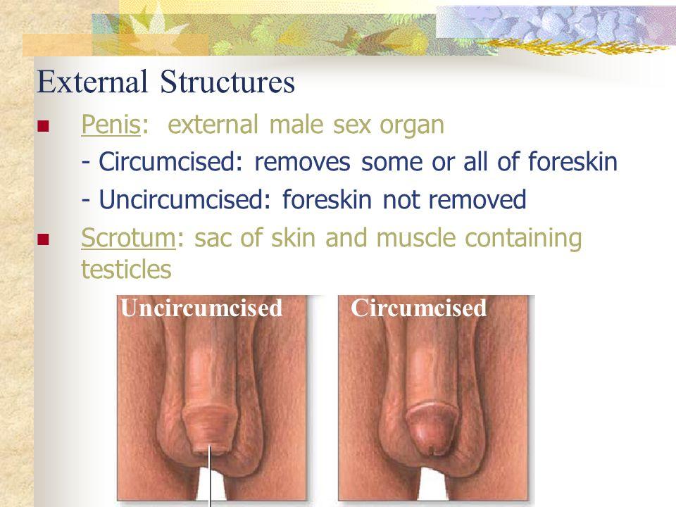 External Sex Organ 40