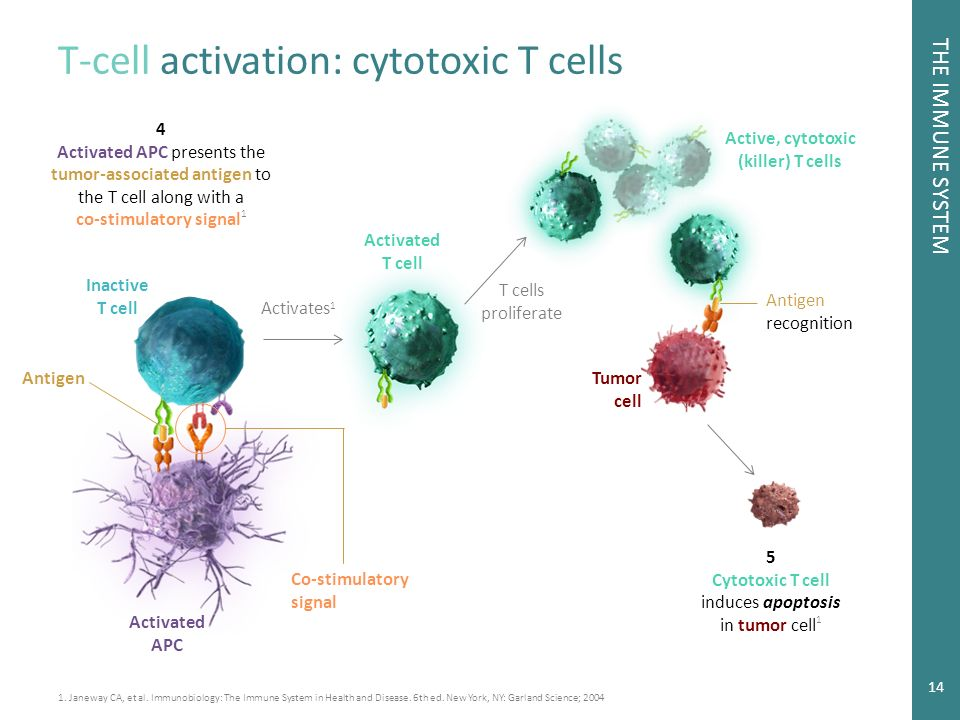 cytotoxic t cells Video microscopy of a cytotoxic t lymphocyte in action.