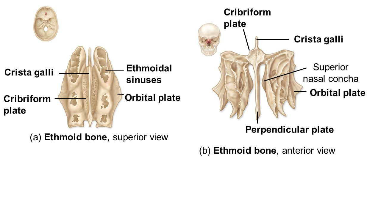 Ethmoid Bone Anterior View Unlabeled Cartilage and B...