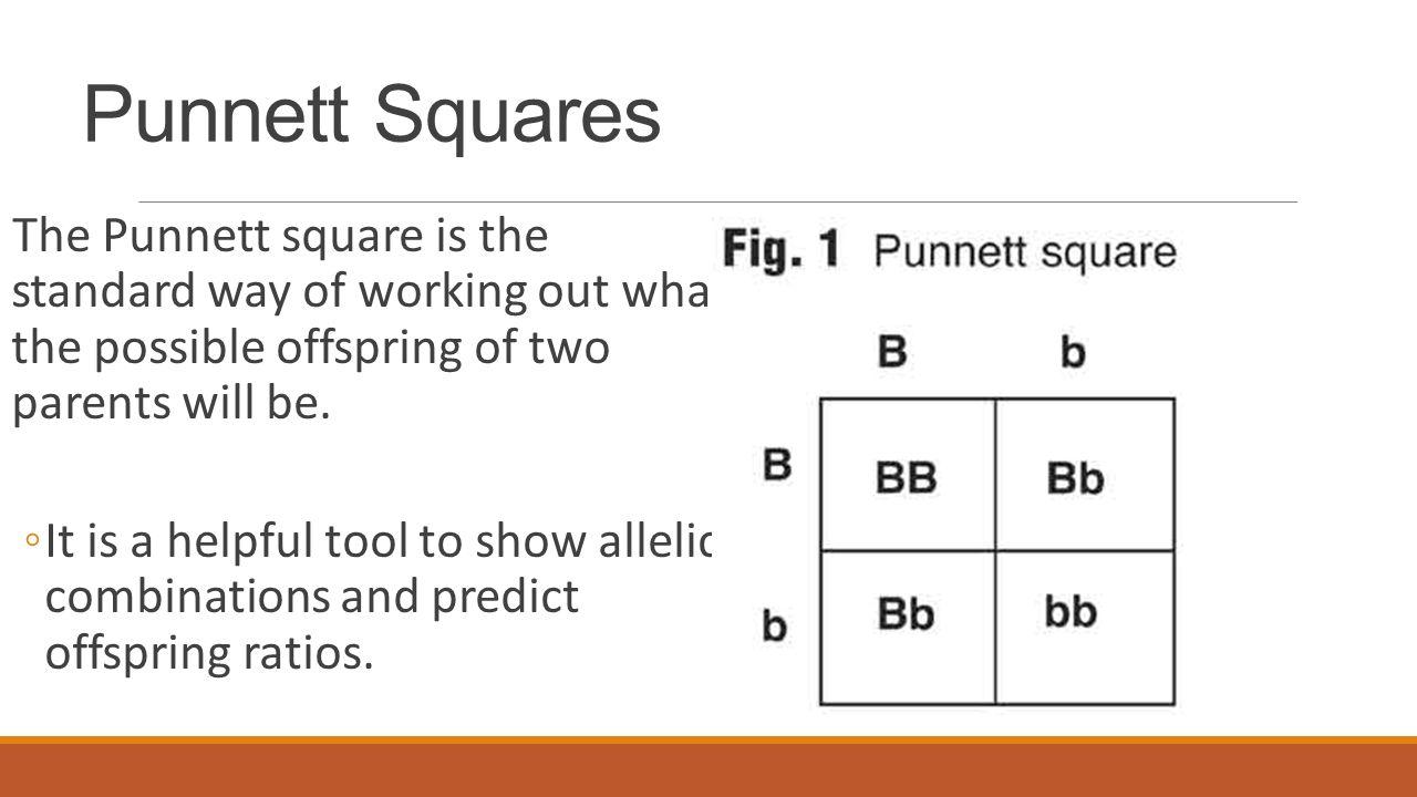 31 Punnett Squares The Punnett Squarepleting