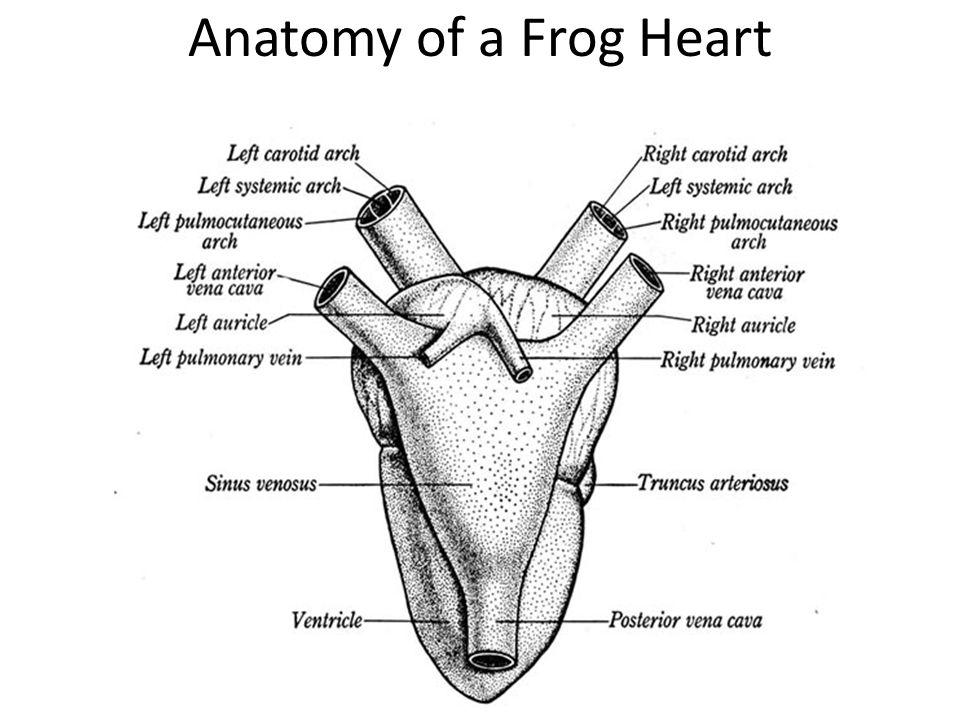 leopard frog scientific name