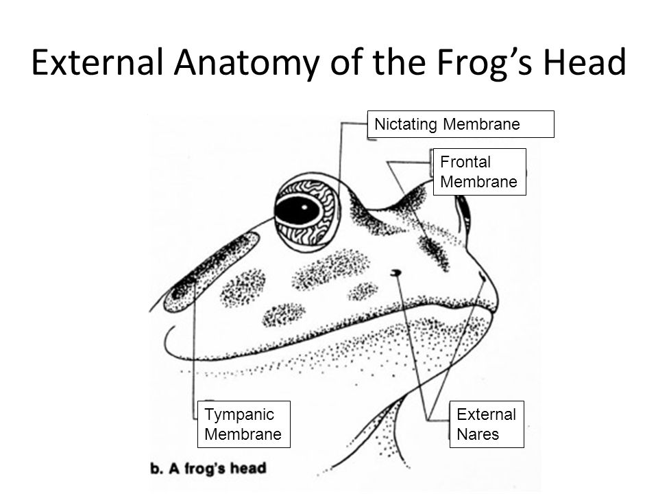 Anatomy of frogs