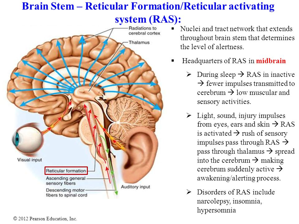 reticular activating system essay Reticular formation revision   ascending to cortex (reticular activating system)  buy the full version of these notes or essay plans and more in our neurology notes related neurology samples: anticonvulsant drugs notes antidepressant drugs notes basal nuclei notes.