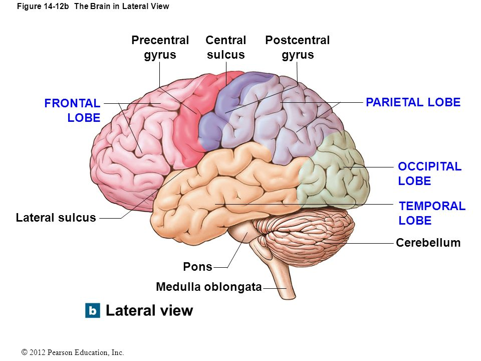 Right Lateral View Of The Human Brain Labeled Gallery - human body ...