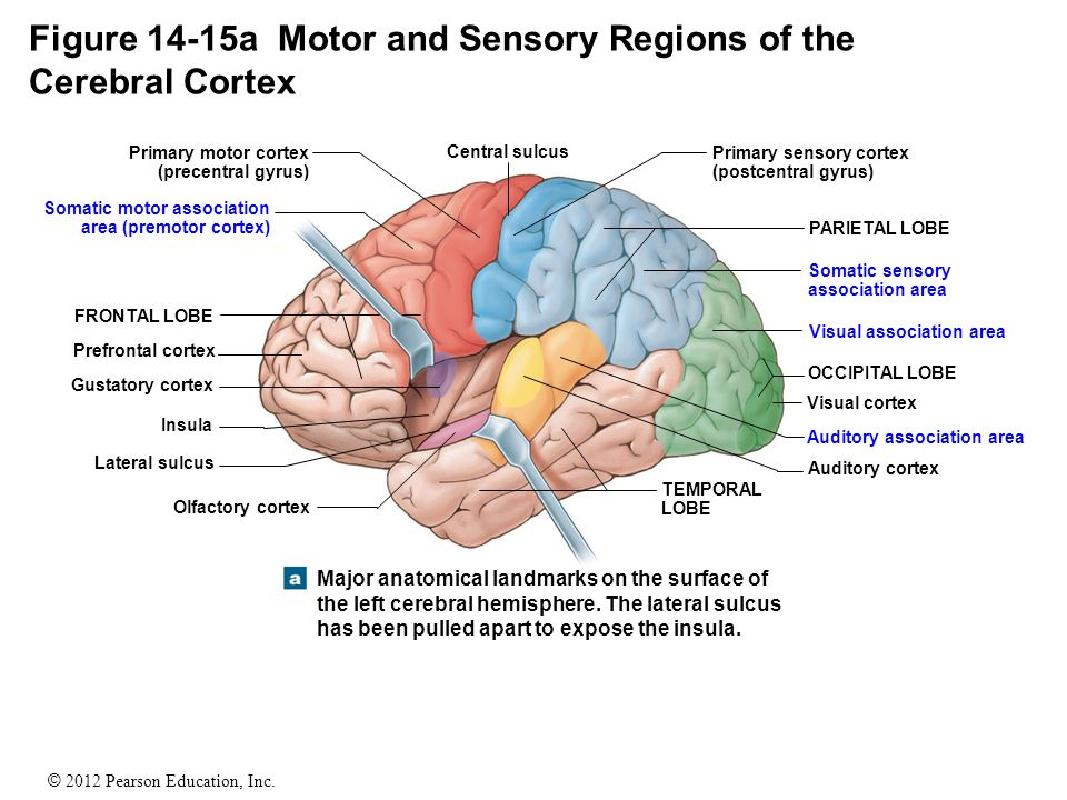 The Adult Human Brain Located In Cranial Cavity Weighs