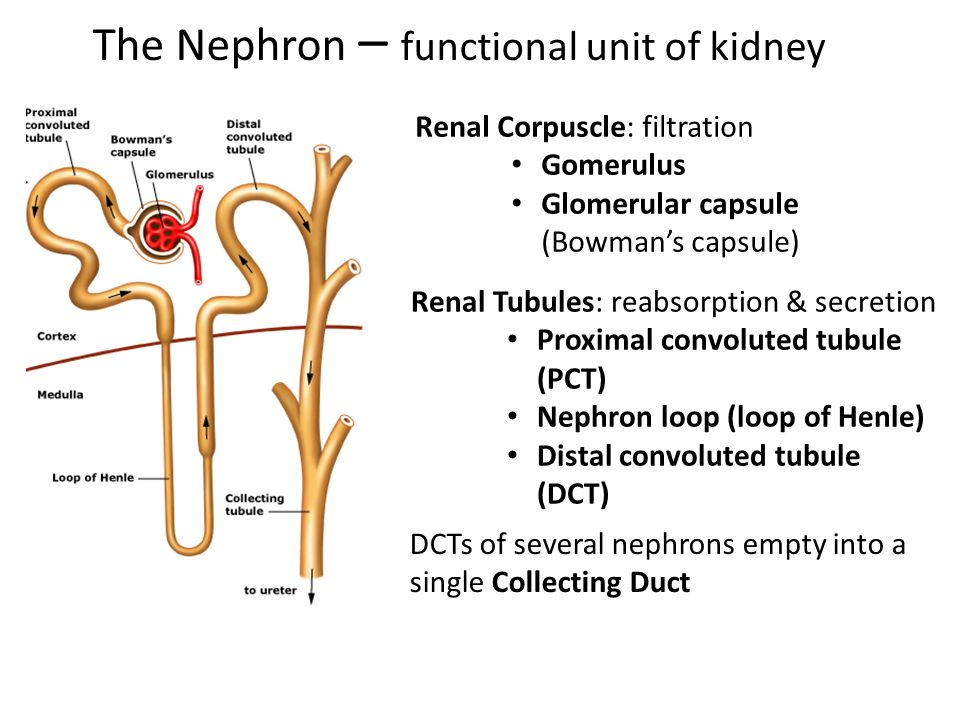 Chapter 26: The Urinary System - ppt video online download