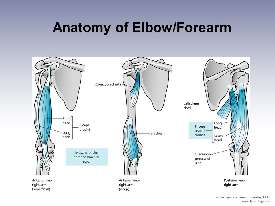 Elbow and forearm anatomy