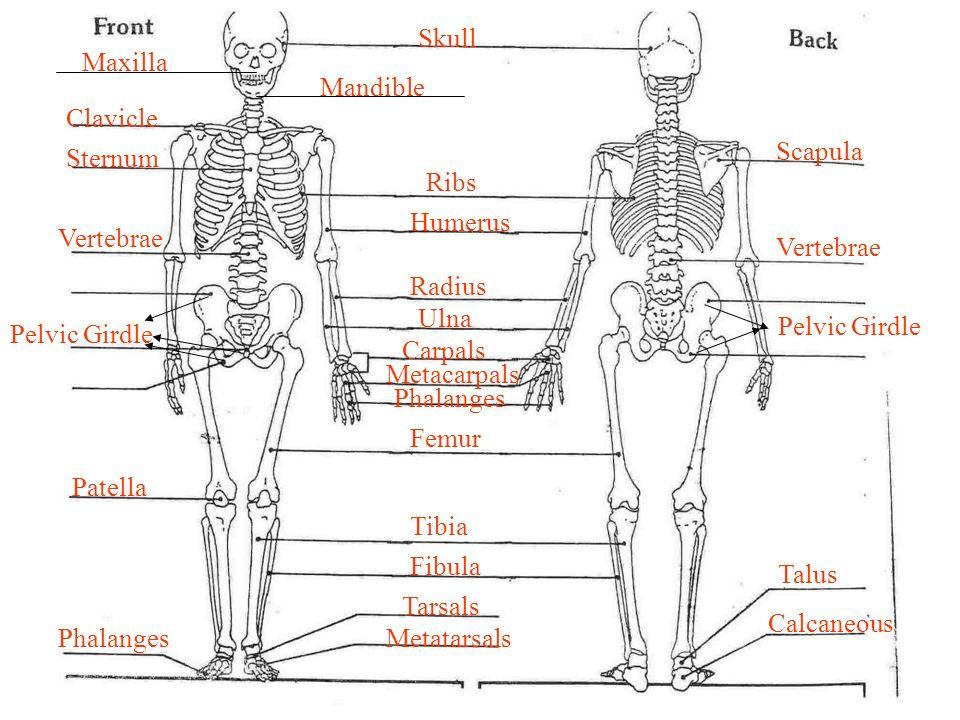 Skeletal System Part Iii Ppt Download