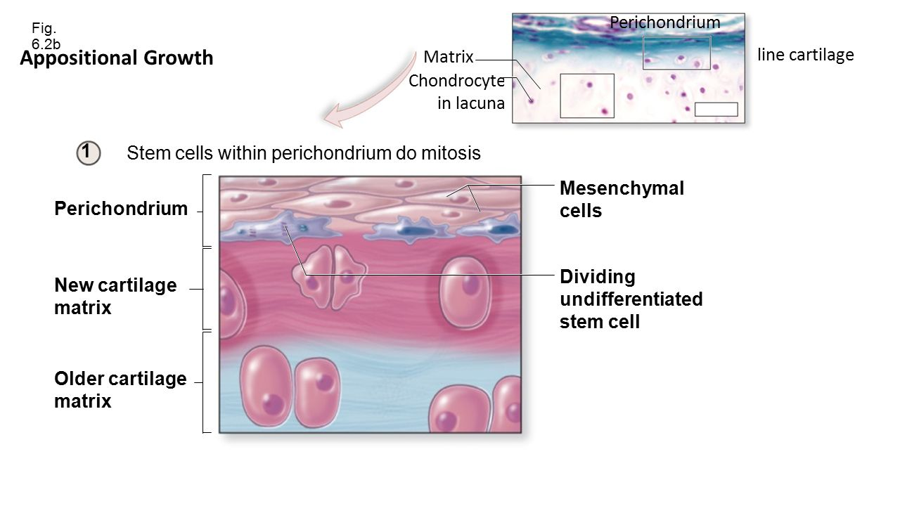 Cartilage cells