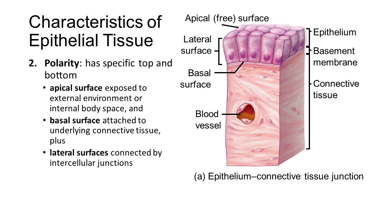 epithelial tissue characteristics Epithelial tissue is a protective tissue that covers both the internal and external surfaces of the body the cells of epithelial.