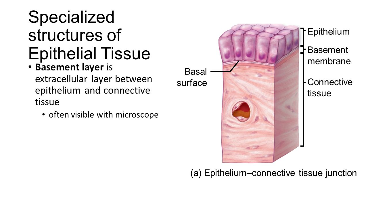 epithelial tissues Epithelial tissue is one of the four essential kinds of animal tissue epithelial tissues exist in the, cavities, surfaces of veins and organs all through the body there are three chief shapes of epithelial cells: squamous, cuboidal and columnar.