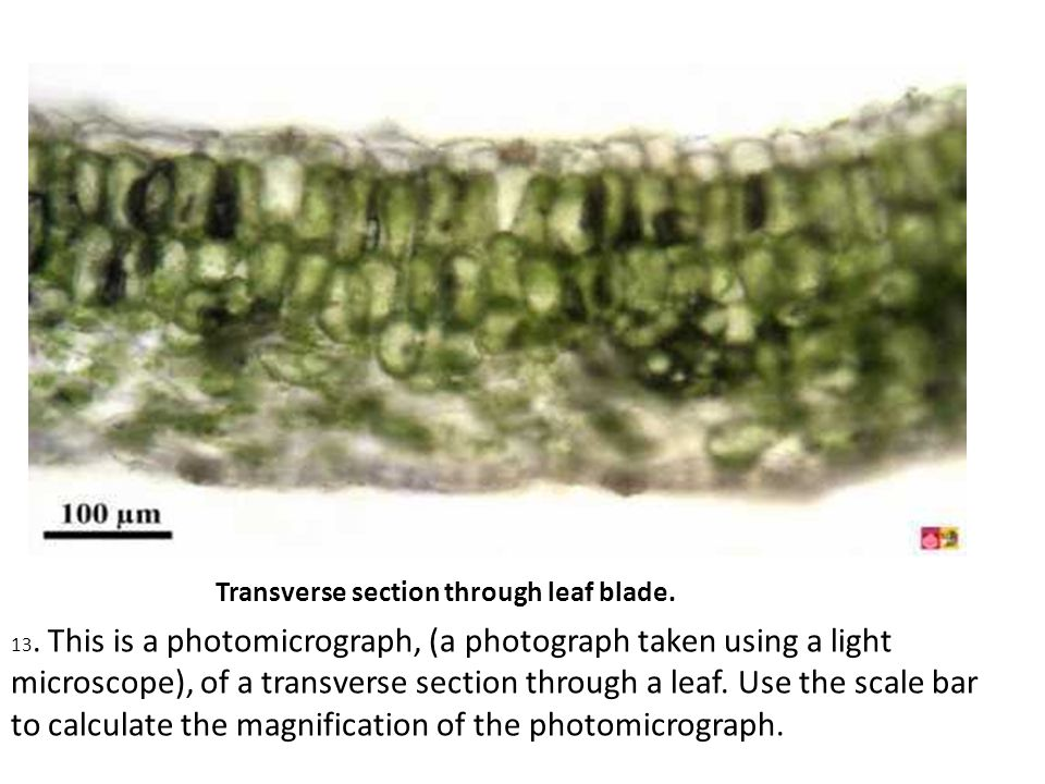 light microscope to determine scale of object This means that we will never be able to see any object smaller than approximately 200 nm (about the width of an average-sized bacterium) using a light microscope (and in practice, many light microscopes can't get close to this resolution because of lens quality.