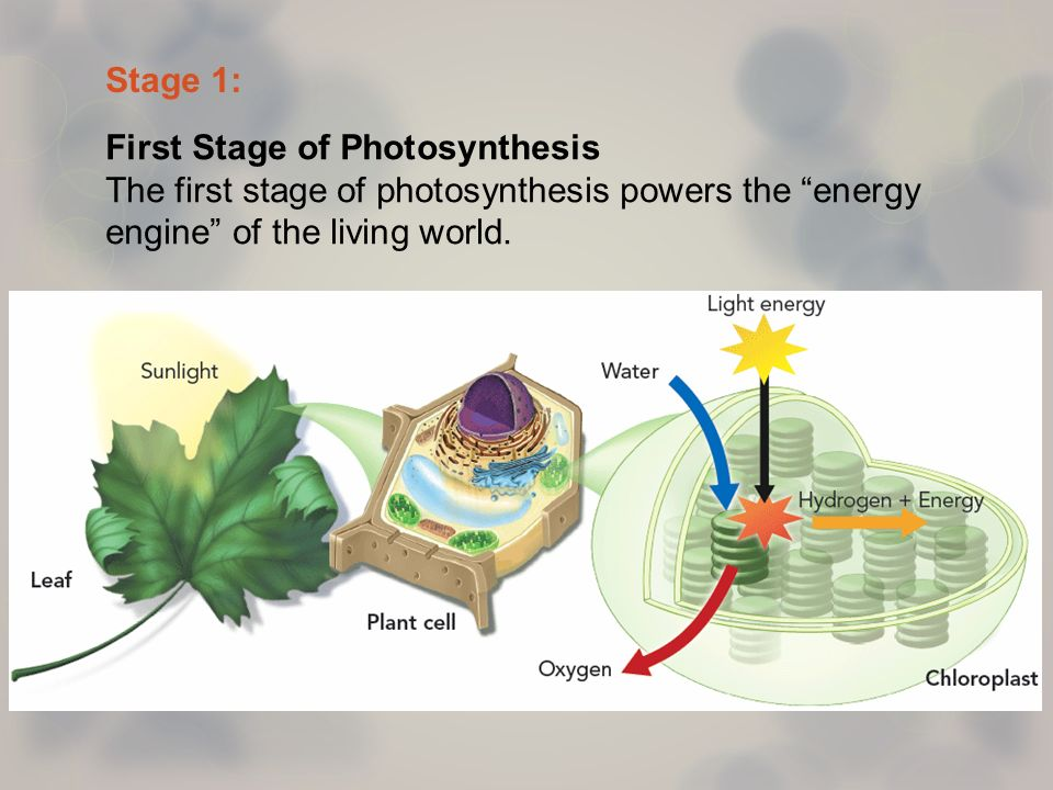 first stage of photosynthesis Remember that the purpose of this first part of photosynthesis is to convert  the  light-dependent reactions of photosynthesis require sunlight.