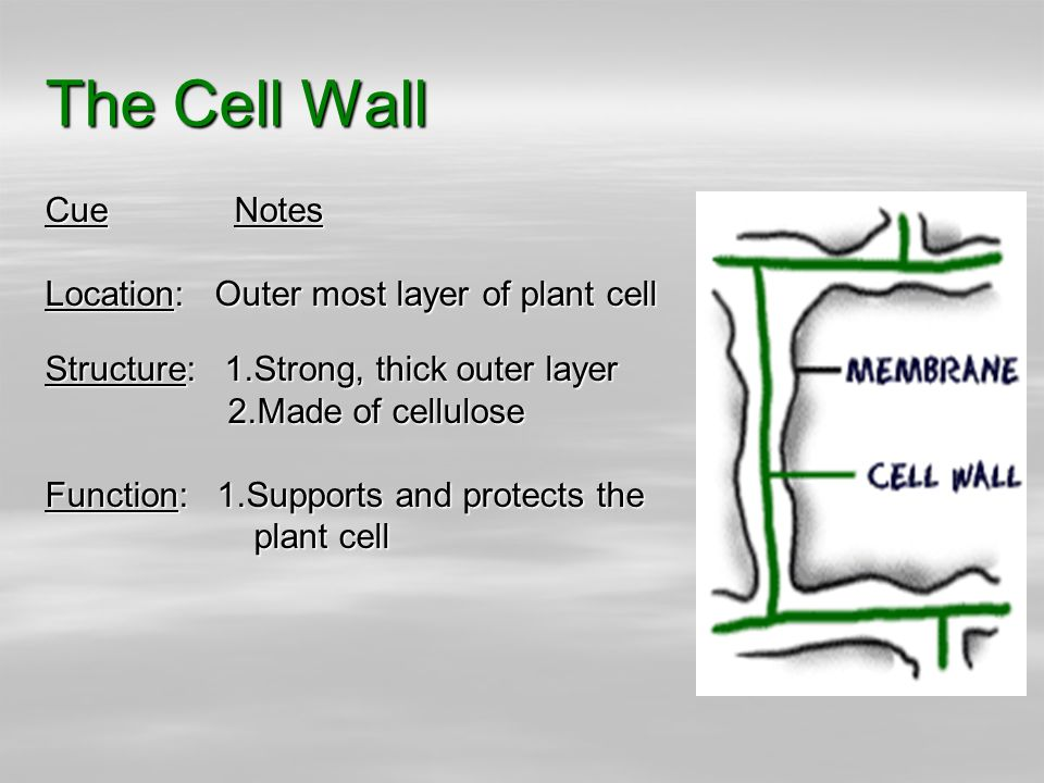 Parts of plant and animal cells structure and function ppt video the cell wall cue notes location outer most layer of plant cell malvernweather Gallery