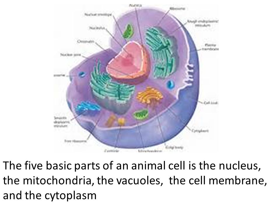 Vacuoles In Animal Cells